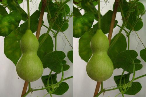 ヒョウタン 【解説】 ヒョウタン(瓢箪) はウリ科ヒョウタン(=ラゲナリア)属のつる性1年草。